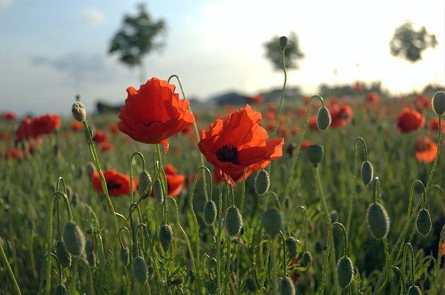 640px-Poppies_Field_in_Flanders