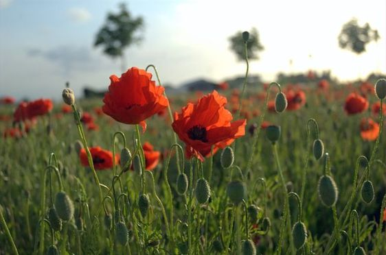 640px-Poppies_Field_in_Flanders